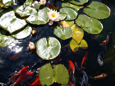 Vijver ontwerp tot aanleg ronde strakke natuurlijke vorm for Vissen vijver
